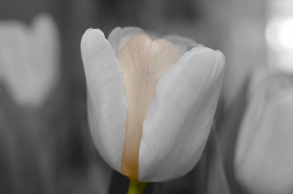 бяло лале